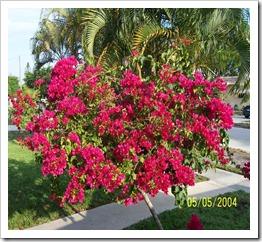 زراعة نبات الجهنمية(المجنونة Bougainvillea 168386_1694845461263_1541637130_1601595_3580082_n_thumb[3].jpg?imgmax=800